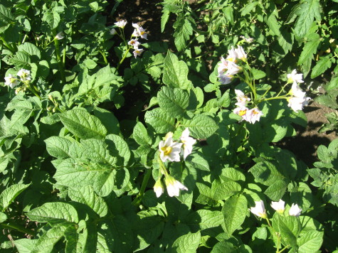 Growing Potatoes Flowers