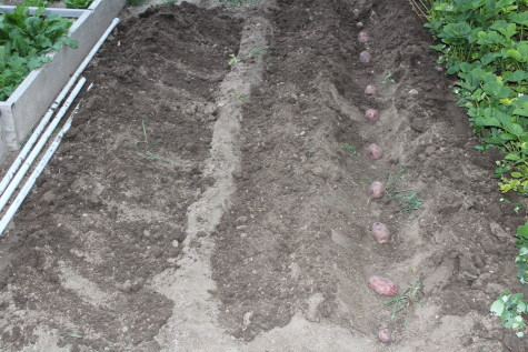 Growing Potatoes trench