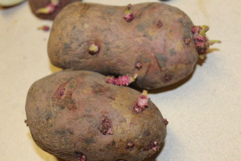 Growing Potatoes chitting