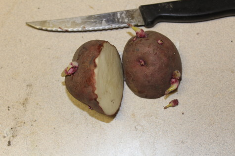 Growing Potatoes Cutting