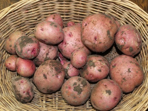 Potatoes can still be planted in June for a late fall harves