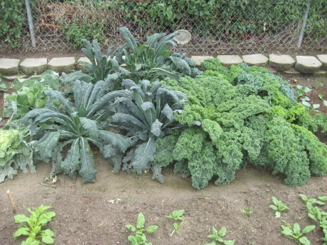 The 5 best crops for Self Sufficient Gardeners Kale