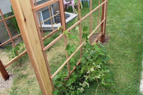 Building a Grape Arbor grapes