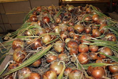 Curing and Storing Onions Drying