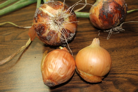 Curing and Storing Onions old