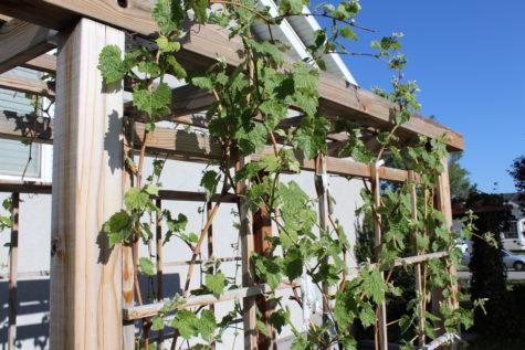 Building a Grape Arbor 22