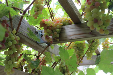 Grape Arbor #12