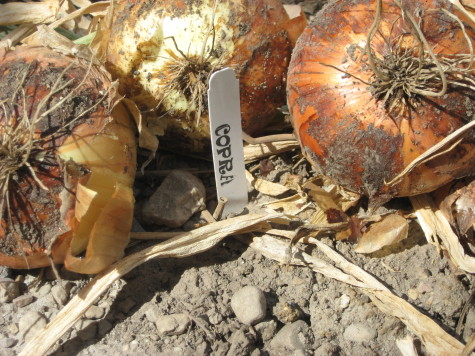 Curing and Storing Onions copra