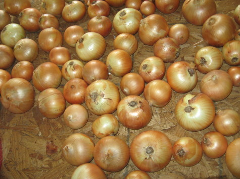 Curing and Storing Onions trimmed