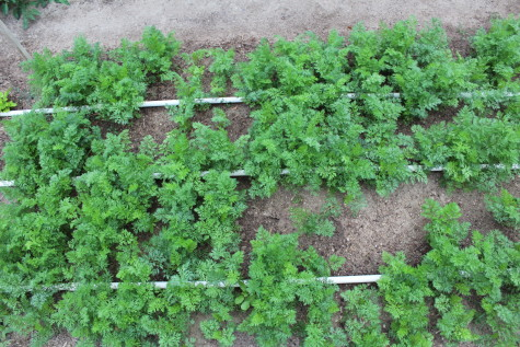 Growing Carrots for Winter Harvest 2