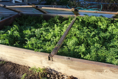Growing Carrots for Winter Harvest 1