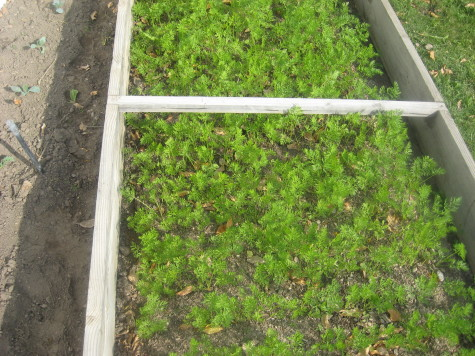 Growing Carrots for Winter Harvest 3