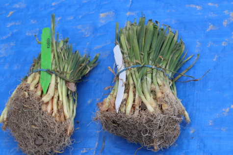 Planting Onions Using Seedlings