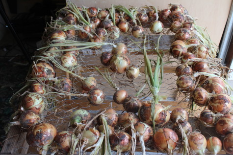 Curing Onions after Harvest