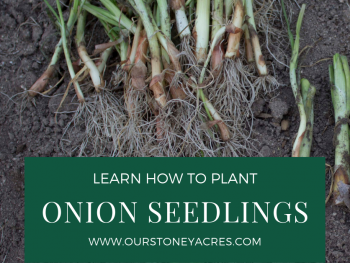 Planting onions using seedlings fb