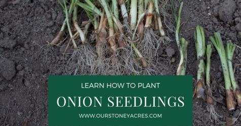 Planting onions using seedlings fb