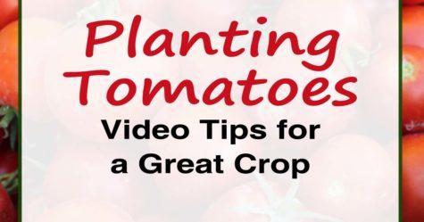 Planting Tomatoes - Video Post FB