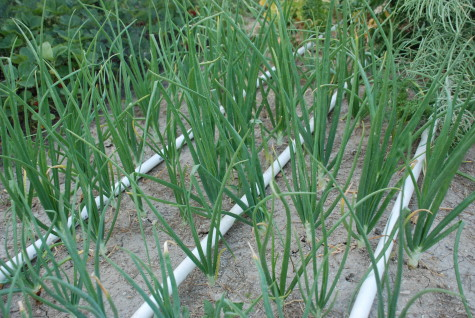 Rotate growing onions throughout your garden