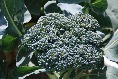 Vegetable Crop Families Broccoli