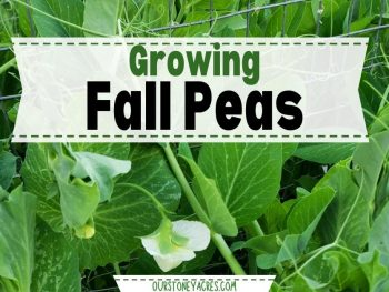Growing Peas in the Fall
