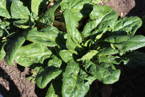 Spinach needs to be moved around the garden to avoid pest problems