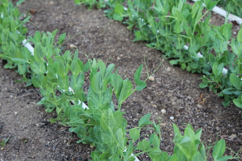 Peas - Crop Rotation