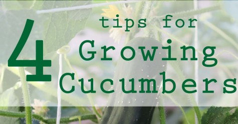Growing Cucumbers fb