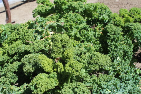 5 Crops you can still plant in September Kale