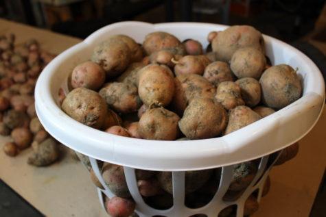 Storing Potatoes 2