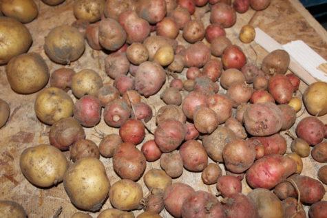Curing Potatoes 2