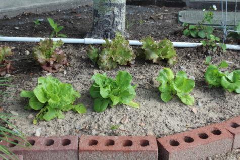 Saving Lettuce Seeds 2
