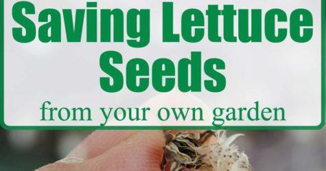Saving Lettuce Seeds fb