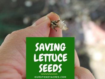 Saving Lettuce Seeds - FB