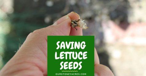 Saving Lettuce Seeds - FB