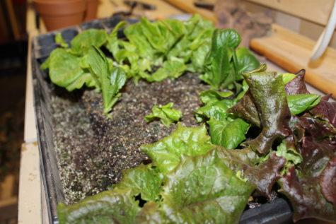 Growing Lettuce Indoors 2