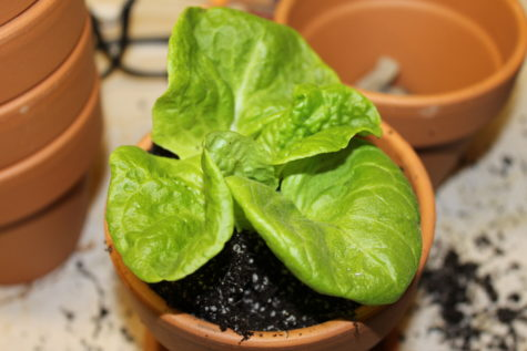 Growing Lettuce Indoors 4