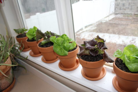 Growing Lettuce Indoors 6