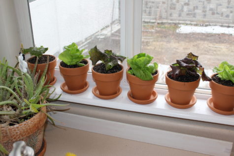 Growing Lettuce Indoors 5