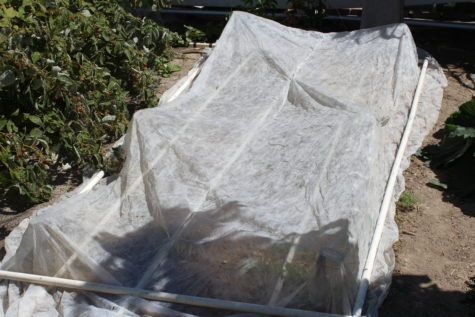 Using fabric row cover as a pest protection 2