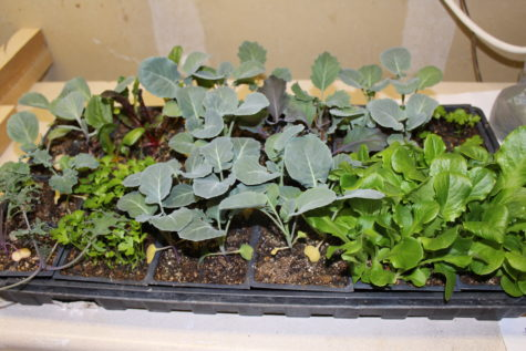 A beautiful tray full of vegetable seedlings ready to go out in the garden.