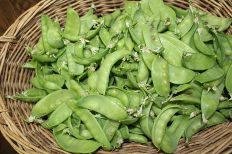 Growing Snow Peas 4