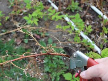 Pruning Everbearing Raspberries 4