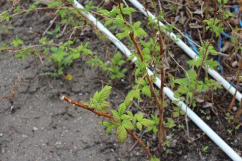 Pruning Everbearing Raspberries 5