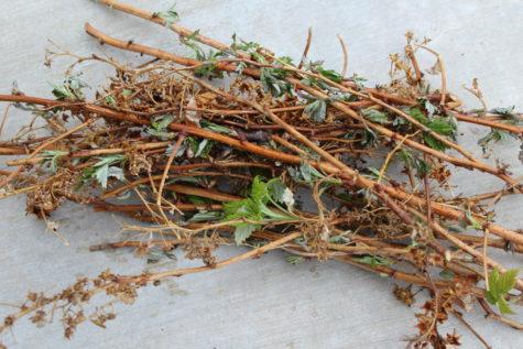 Pruning Everbearing Raspberries 7