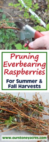 Pruning Everbearing Raspberries