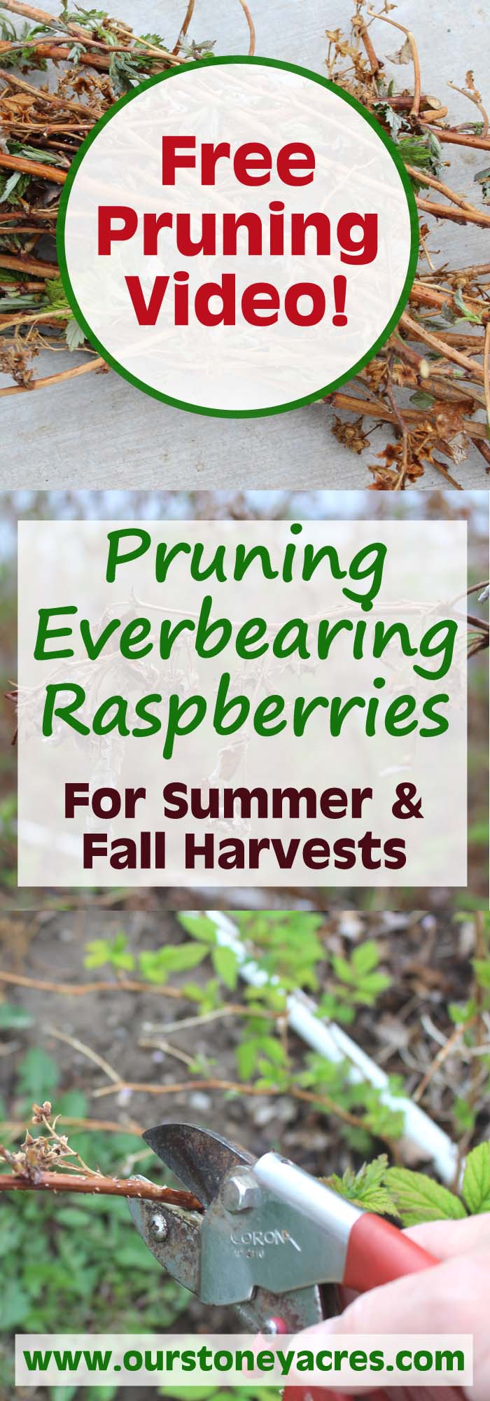 Pruning Everbearing Raspberries Video