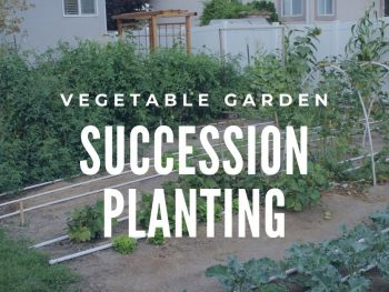 Succession Planting vegetable Garden