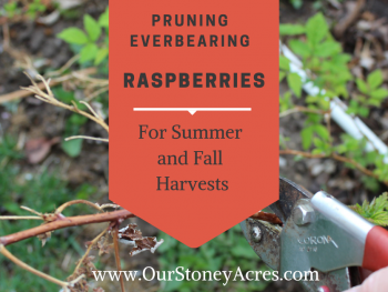 Pruning Everbearing Raspberries - FB
