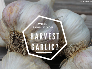 When should you harvest Garlic