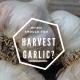 When should you harvest Garlic